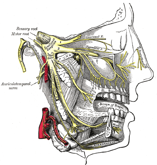 Distribution of the maxillary and mandibular nerves, and the submaxillary ganglion. Source: Wikipedia